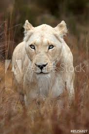 white lioness with blue eyes. Simple Lioness A White Lioness Looking Intensely With Her Blue Eyes In This Beautiful  Close Up Photo Of In White Lioness With Blue Eyes T