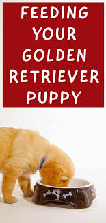 Puppy Feeding Chart Golden Retriever Feeding A Golden Retriever Puppy Your Goldie Feeding Guide