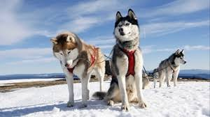 baby husky wallpaper. Exellent Wallpaper Preview Wallpaper Husky Couple Dogs Snow Alaska For Baby Husky Wallpaper L