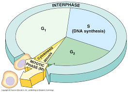 Interphase In The Cell Cycle Is Composed Of A System