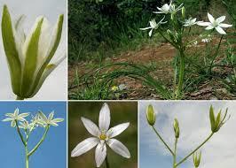 Ornithogalum umbellatum L. - Portale sulla flora delle Saline di Cervia