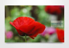 red poppy flower wall art print on red poppy flower wall art with red poppy flower art prints