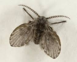 Small Black Flying Bugs In House Adult Drain Fly Wings Spread Small Black Flying  Bugs In