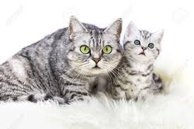 mother british shorthair silver tabby cat sitting with young kitten isolated on white background stock photo