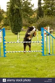 Bernese Mountain Dog jumping at outdoor ...