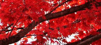 japanese maples 101 dave s garden