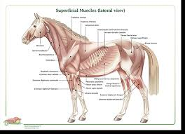 Canine Muscle Chart Equinology Health Care Courses Certification For Equine