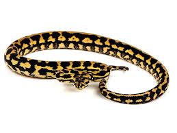 carpet python. jungle carpet python