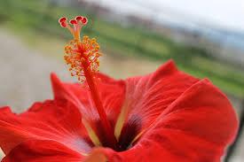 夏の花ハイビスカス 無料画像フリー写真素材activephotostyle