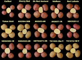 Potato Size Chart 01rstubers Potatoes At Wsu Washington State University