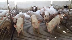 Centro De Información De Actividades PorcinasPrecio Granja De Cerdos Engorde