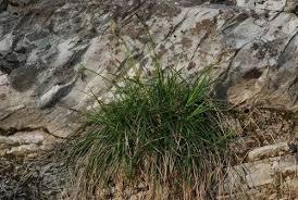 Carex hallerana · iNaturalist.org