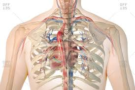 The human rib cage (thoracic cage) has the very important job of protecting the heart and lungs. Rib Cage Stock Photos Offset