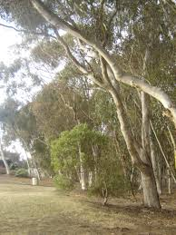 Tree Swings Social Architectures Ucsd Swings Proposal