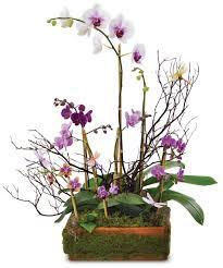 blooming orchid plants flowering plants woyshners flower lackawanna new york 14218