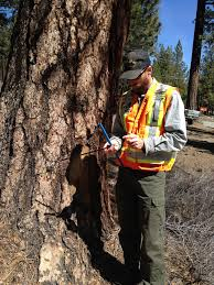 Tree Risk Assessment Mammoth Tree Service Skyline Arborist