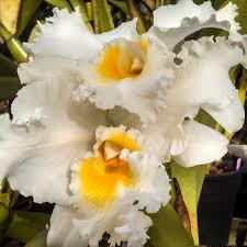 Cattleya (Cattleya Emile Geschick × Cattleya Myra Peters)