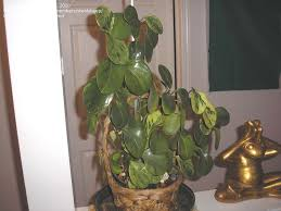 plant identification closed multiple stems with round stiff waxy leaves 1 by steelsheep