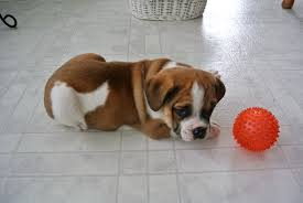 Puggle Growth Chart English Bulldog Puggle Mix For Sale Goldenacresdogs Com