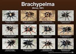 Tarantula Posters Brachypelma Genus Types Of Spiders