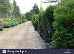 row of coniferous trees in tree plant garden nursery thuja trees at plant nursery