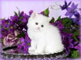cute white fluffy kittens for sale.  White Cashmere White Teacup Persian Kitten To Cute Fluffy Kittens For Sale A