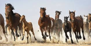 wild horses mustang running. Simple Mustang Mustangs Are Regarded As A Symbol Of The Frontier History American  West With Wild Horses Mustang Running D