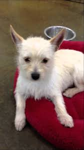 white terrier mix puppies. Brilliant Mix Buster  Terrier Westie Mix 6 Mo Puppy Throughout White Puppies H