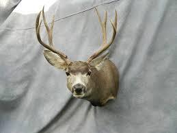 mule deer shoulder mount game head walden colorado