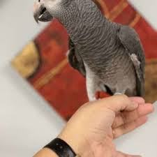 Timneh African Grey For Sale Terrys Parrot Farm