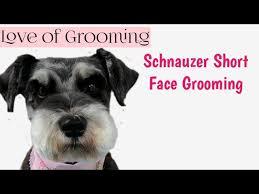 eyebrows short pet schnauzer grooming