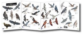 Field Guide British Birds Of Prey