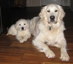 white golden retriever puppies for sale. Young And Old Our Dogs Bring So Much Joy To Lives The People Who Adopt Them From Us Throughout White Golden Retriever Puppies For Sale Pinterest