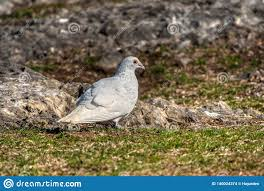 Light Brown And White Pigeon White Pigeon On The Land Stock Photo Image Of Environment
