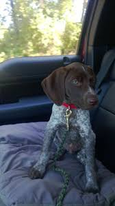 78 best German Shorthaired Pointer images on Pinterest