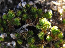 Selaginella eremophila - Wikipedia