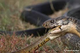 king cobra snake eating. Plain Snake _King13 And King Cobra Snake Eating G