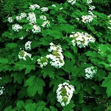 alice oakleaf hydrangeas
