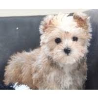 morkies morkie puppies for in ohio