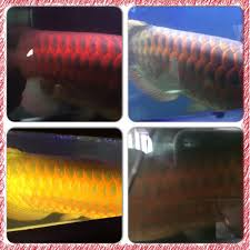 Best Tanning Light For Arowana Tanning Light Is Effective Archive Arowana Fish Talk