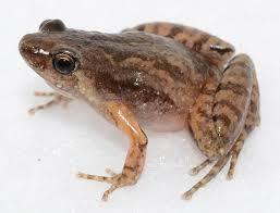 Image result for gambar aneka katak
