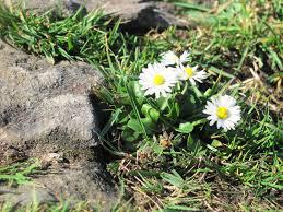 daisy miller essay essay secret life of bees torres  daisy essay essay on love canal teodor ilincai