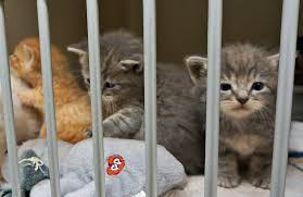 animal shelter kittens. Fine Shelter Kittens Harris County Animal Shelter In Kittens O