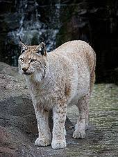 lynx size eurasian lynx lynx lynx details encyclopedia of life