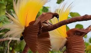 Jenis burung cendrawasih yang satu ini diketahui memiliki 2 jenis. Vektor Burung Cendrawasih Hitam Pitih 19 Gambar Burung Cendrawasih Beserta Keterangannya