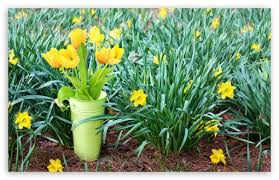 spring tulip desktop wallpaper. Plain Desktop Download Fresh Cut Spring Tulips Flowers HD Wallpaper To Tulip Desktop T