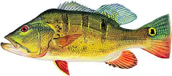 Types Of Bass Fish Chart Species Of Fish In Florida Bass Fishing Florida