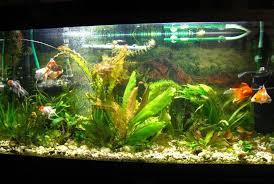 5. Содержание <b>золотых рыбок</b> в аквариумах