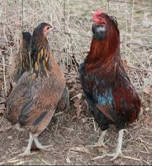 Ameraucana Chicken Color Chart Ameraucana Araucana The Easter Egger Chicken Chicken