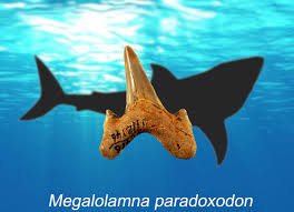 sharks articles pictures and interesting facts extinct 12 foot long shark is related to ginormous megalodon